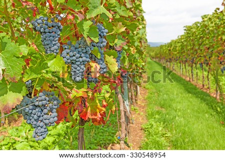 ripe red grapes in vineyard before harvest - stock photo