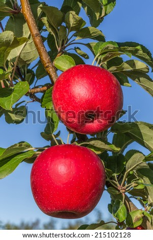 Ripe red Honeycrisp apples ready to pick. - stock photo