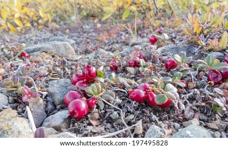 Ripe red low-bush cranberries, lingonberry, or partridgeberry, Vaccinium vitis-idaea, on dwarfed plants in alpine tundra - stock photo