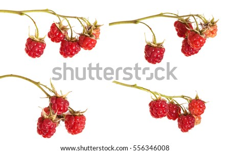 ripe red raspberries on a branch. on a white background