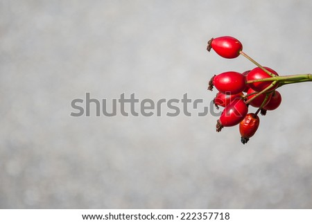 Ripe red rosehip on natural grey background - stock photo