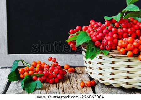 ripe red rowan branch in basket on old wooden background. autumn theme.copy space for text - stock photo