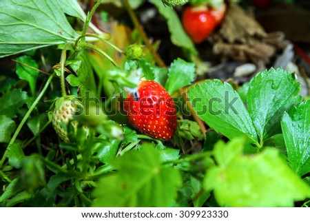Ripe red strawberry in the garden, natural food concept - stock photo