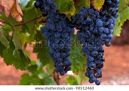 Ripe Red Wine Grapes, Coonawarra Wine Region, South Australia - stock photo