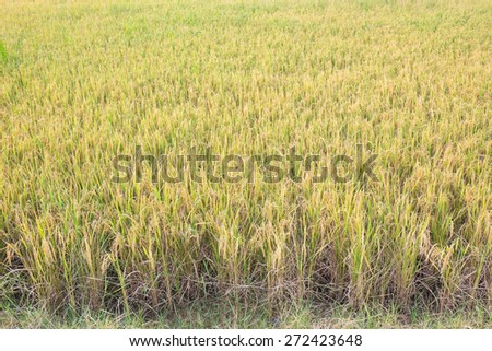 Ripe rice farm ready to harvest stage - stock photo