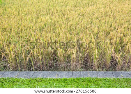 Ripe rice farm ready to harvest with stone and grass - stock photo