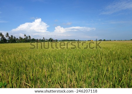Ripe rice grains in Asia before harvest                   - stock photo