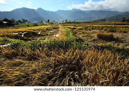Ripe rice ready for cropping in a sunny valley. Bali, Indonesia - stock photo