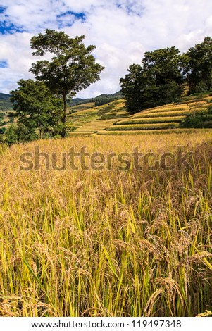 Ripe rice terrace field in South China - stock photo