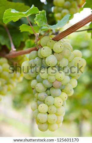 Ripe Riesling white vine grapes in vineyard in Germany - stock photo