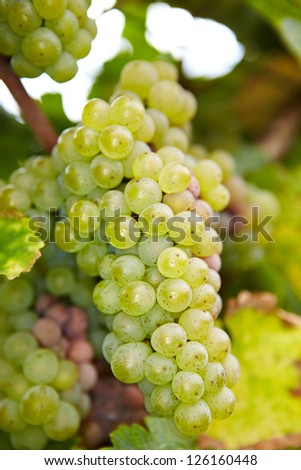 Ripe Riesling white wine grapes in autumn in Germany - stock photo