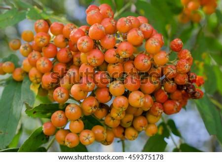 ripe rowan berries - stock photo