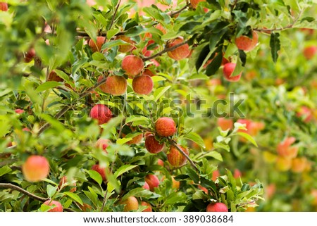 ripe royal gala apples on a apple tree at new zealand apple orchard before picking season - stock photo