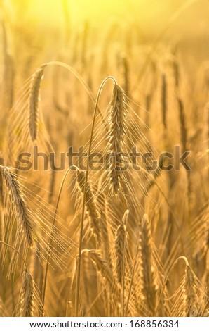 Ripe rye ears in the sun - stock photo