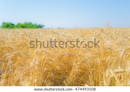 Ripe rye in a field on a summer day 