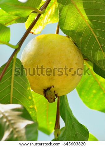 Ripe, single yellow guava fruit on tree.