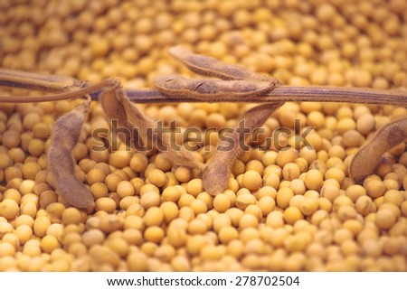 Ripe Soy Bean Plants and Beans As Agriculture Cultivated Crop Harvest Concept, Selective Focus with Shallow Depth of Field - stock photo