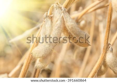 Ripe soybeans on the field ready to harvest - stock photo