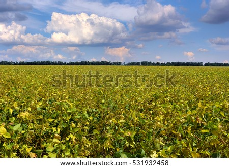 Ripe soybeans on the field ready to harvest