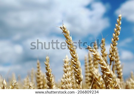 ripe spike of wheat on agriculture field - stock photo