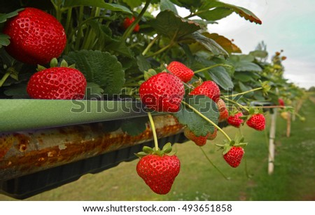 Ripe strawberries on pick yourself farm