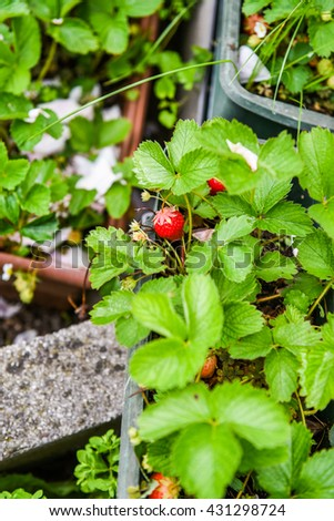 Ripe strawberry growing in the garden. Beautiful, big and red fruit. - stock photo