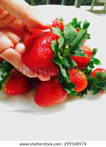 Ripe strawberry in hand on white background. - stock photo
