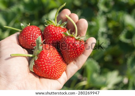 Ripe strawberry in hand with natural background.