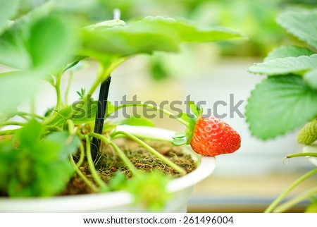 Ripe strawberry in the pot - stock photo