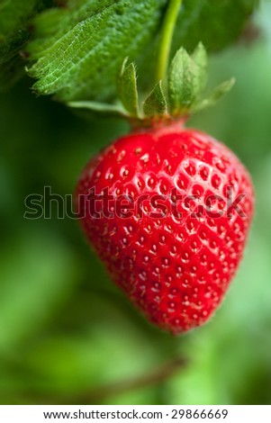 ripe strawberry on a plant ready to harvest - stock photo