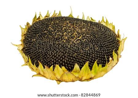 ripe sunflower - stock photo