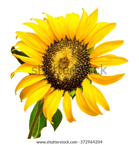 Ripe sunflower with seeds isolated on white background - stock photo