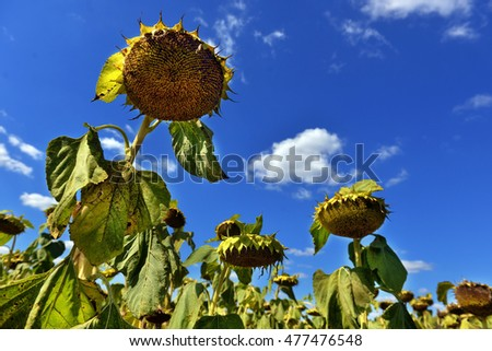 ripe sunflowers in the field against the sky
