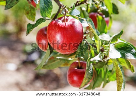 Ripe sweet apple fruits growing on a apple tree branch in orchard - stock photo