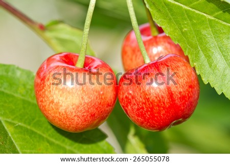 Ripe sweet cherry fruit on the tree - stock photo