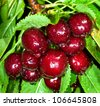 ripe sweet cherry green leaf - stock photo