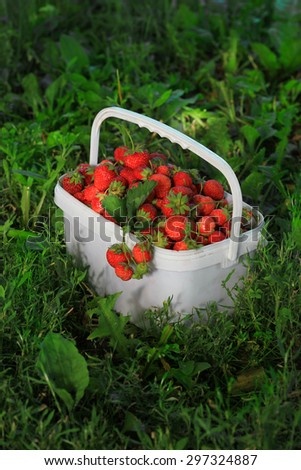 Ripe sweet strawberries in plastic basket on a green lawn. Outdoor.