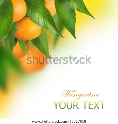 Ripe Tangerines growing.Border design - stock photo