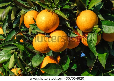 Ripe tangerines on a large background of green leaves - stock photo