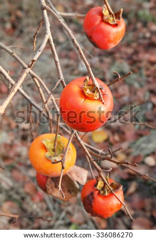 Ripe tasty persimmons on a tree   - stock photo