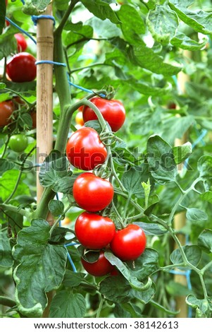 Ripe tomatoes ready to pick in a greenhouse - stock photo