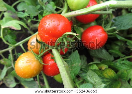 Ripe tomatoes with the rain drops in the summer garden