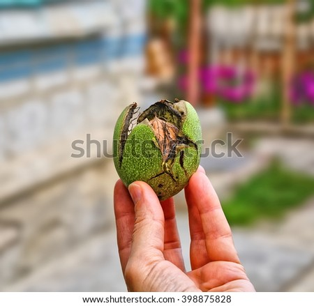 Ripe walnut with cracked shell in hand. Shallow DOF. - stock photo