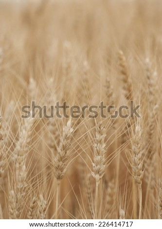 Ripe wheat close-up with selective focus in foreground