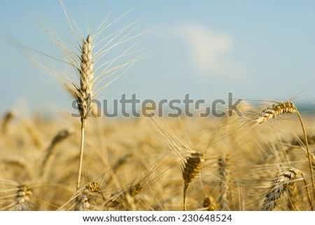 ripe wheat ears before harvest