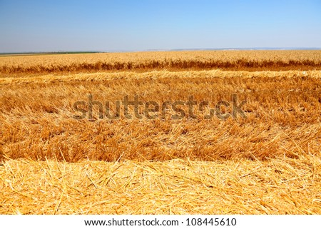 Ripe wheat field - stock photo