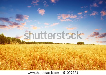 Ripe wheat field and colorful sunset. - stock photo