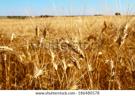 Ripe wheat field at sunset  - stock photo
