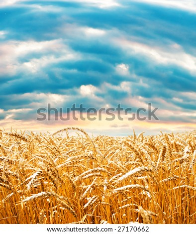 Ripe wheat field under cloudy sky - stock photo