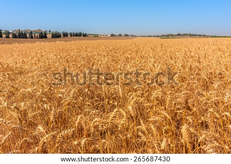 Ripe wheat grow on rural field in Israel. - stock photo